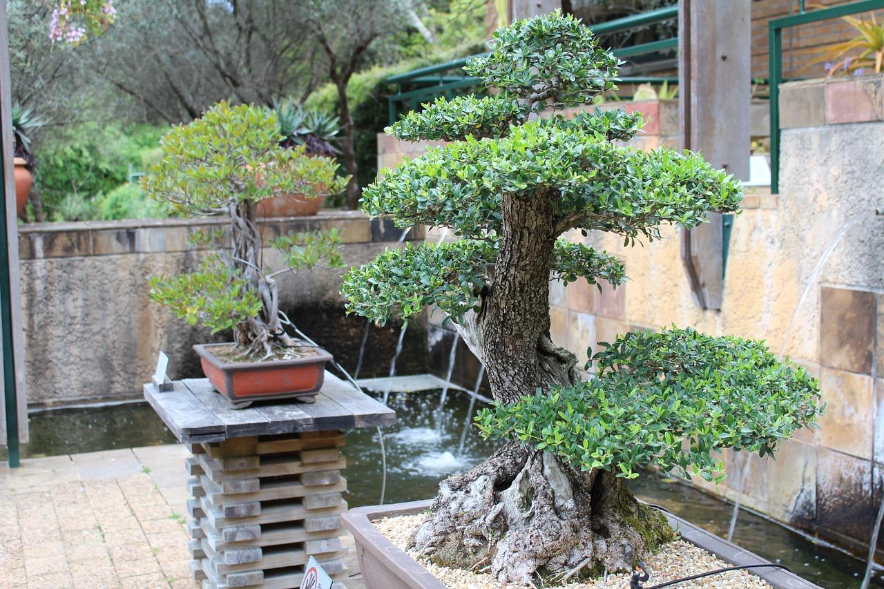 Il sito web che aiuta a prendersi cura del bonsai olivo